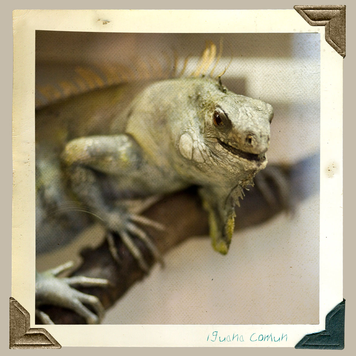 iguana animal disecado
