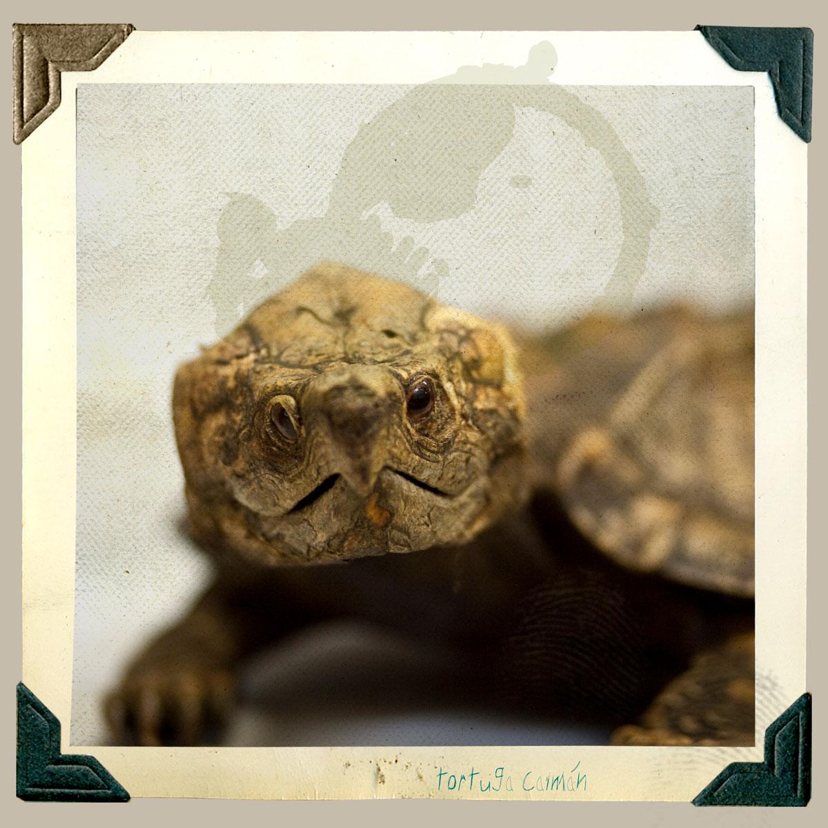 tortuga caiman animal disecado anaima
