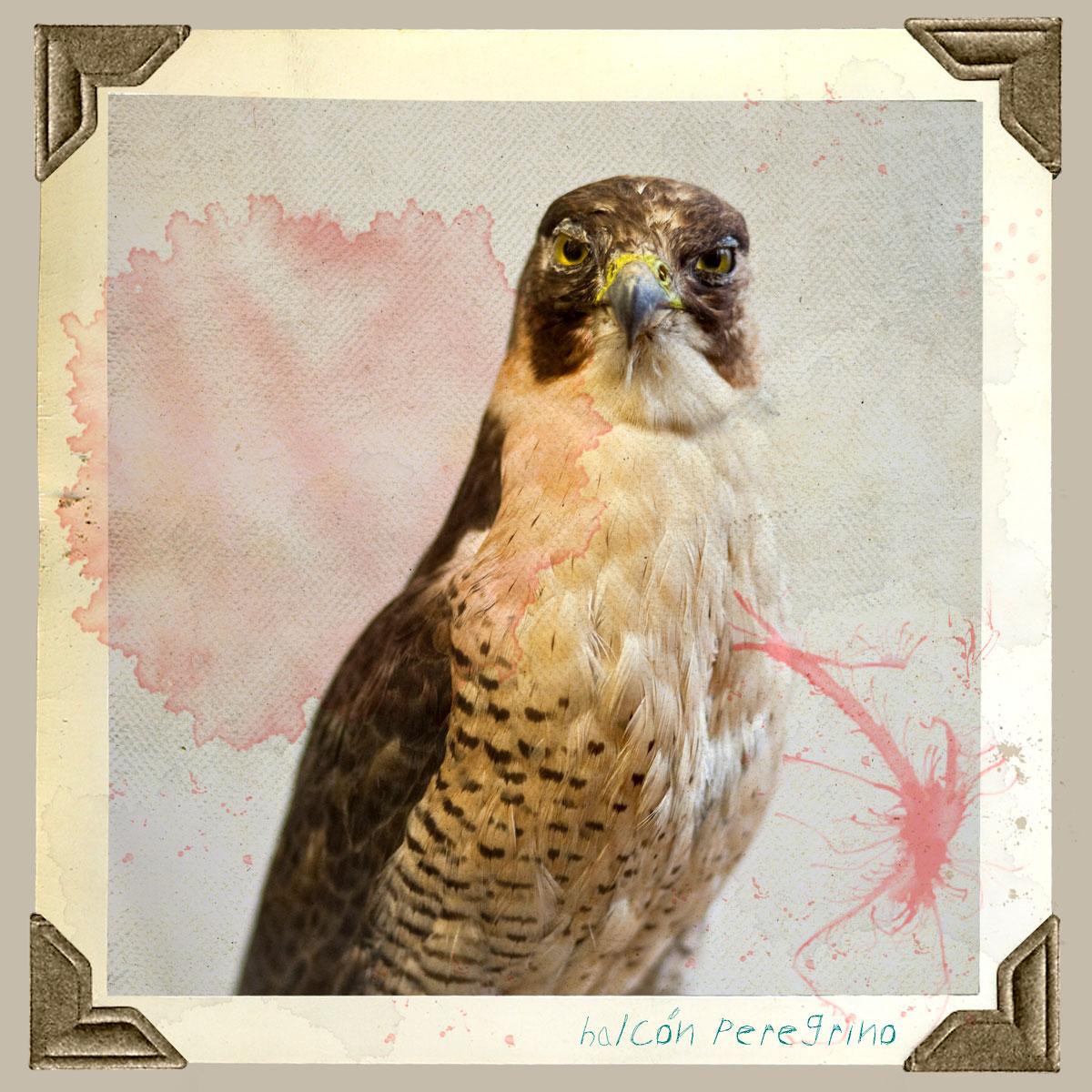 halcon peregrino animal disecado anaima