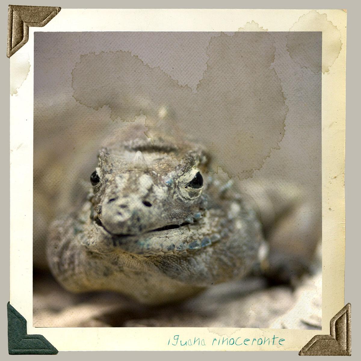 iguana riniceronte animal disecado anaima