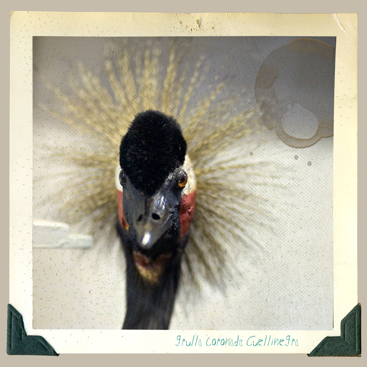 grulla coronada animal disecado anaima