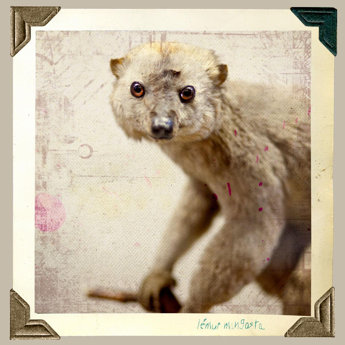 lemur mangosta animal disecado anaima