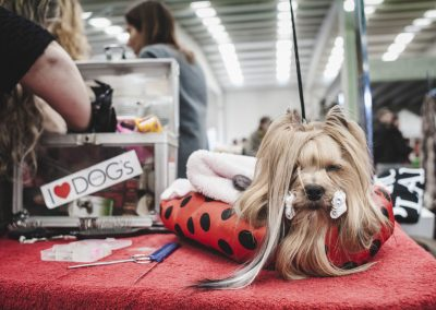 yorkshire en exposicion canina