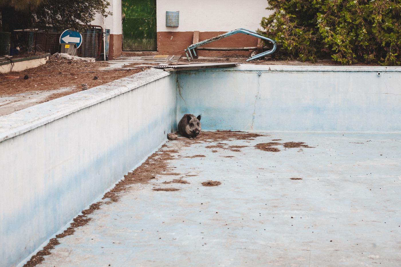 jabali en piscina