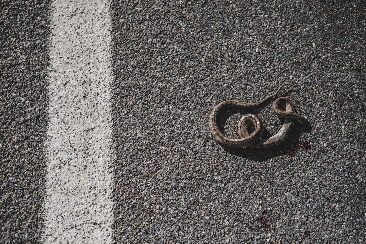 serpiente atropellada