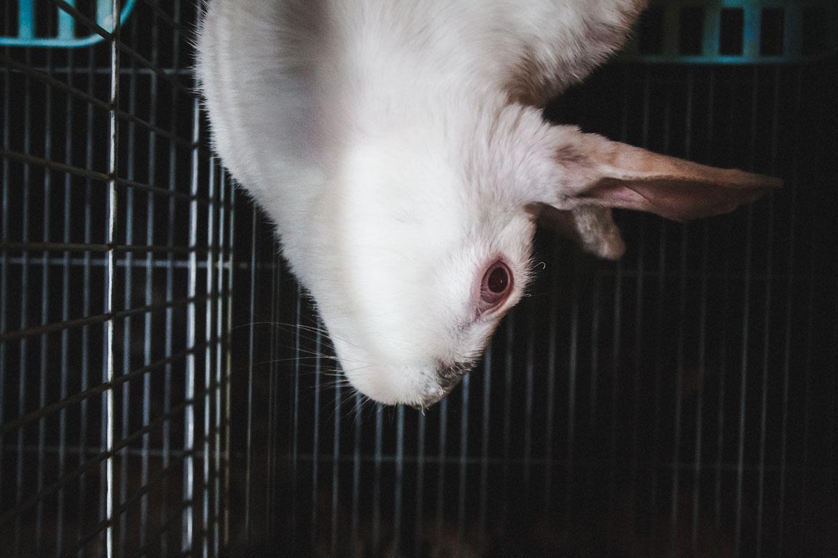 conejo con el cuello malformado de lado